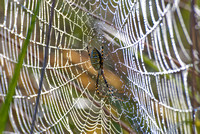 Spider in Dewy Web