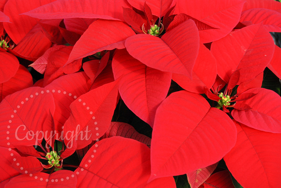 Close up of Poinsettias