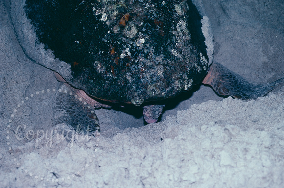 Sea Turtle Laying Eggs